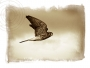Kestrel: Master of the Air