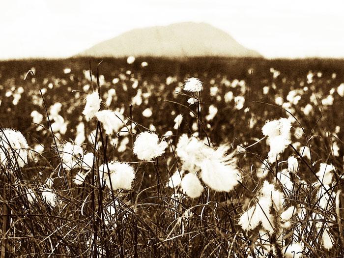 Bog Cotton below Muckish