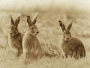 Three hares at Portmore Lough
