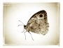 The Meadow Brown