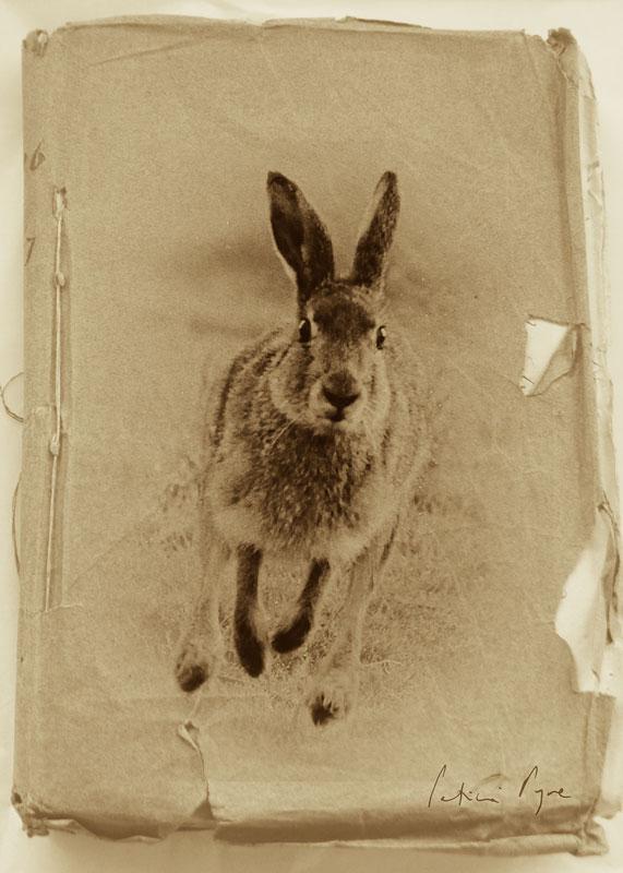 Templeton's Hare