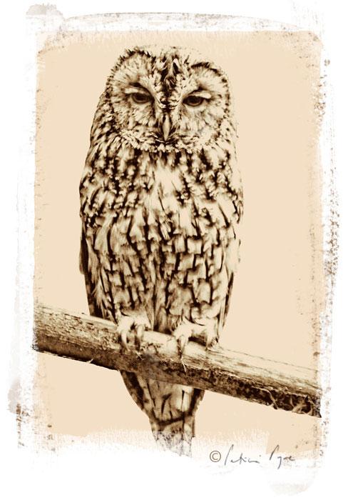 Tawny Owl 2