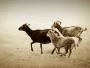 Soay sheep running