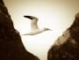 St Kilda gannet