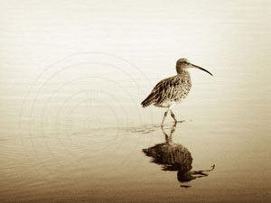 Solitary-Curlew-300