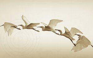 egret-flying300