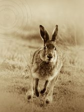irish-hare-portmore-lough