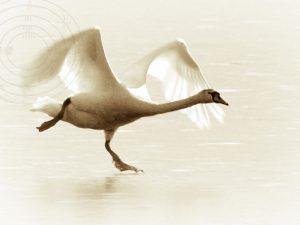 Skating-swan